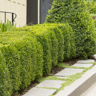 Buxus 'Green Mountain' - Green Mountain Boxwood