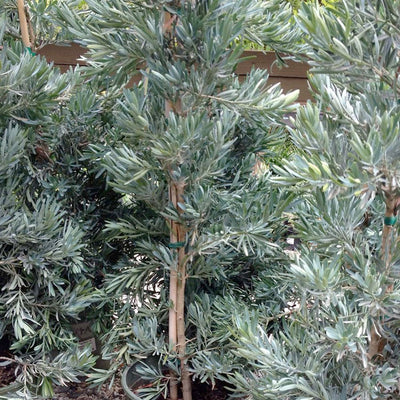 Podocarpus 'Icee Blue' - Icee Blue Yellow-Wood - 5 Gallon