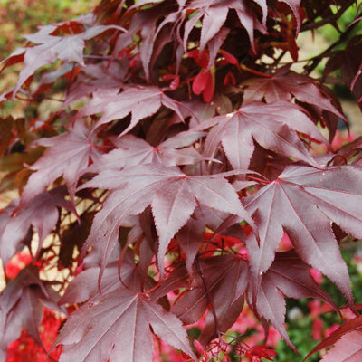 "Japanese Maple 'Bloodgood' 20"" - XL"