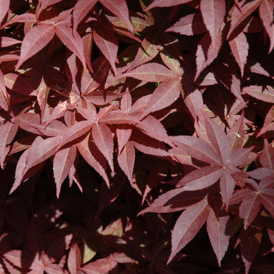 Japanese Maple 'Rhode Island Red' Size 3 - Small