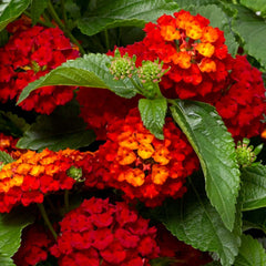 Lantana Hot Blooded #1 Size