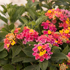 Lantana 'Patriot Rainbow' #1 Size