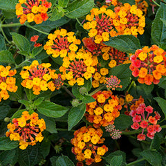 Lantana 'Sunset' Patio Tree