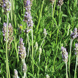 LAVANDULA FRENCH #1 SIZE