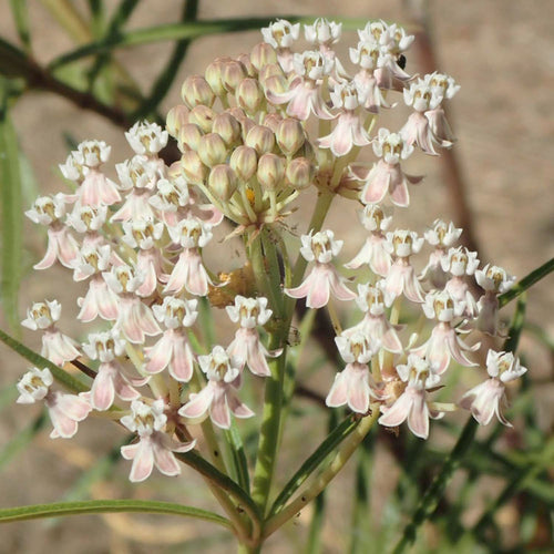 NARROW LEAF MILKWEED