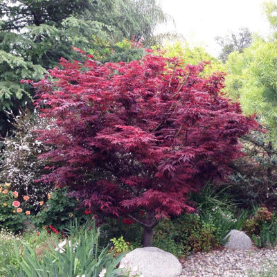 Japanese Maple 'Atropurpureum' Size 2 - Small