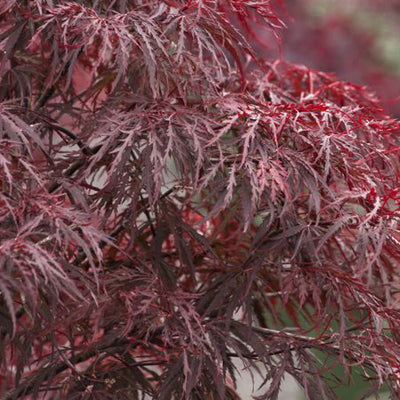 Japanese Maple 'Red Dragon'  Size 10 - Medium