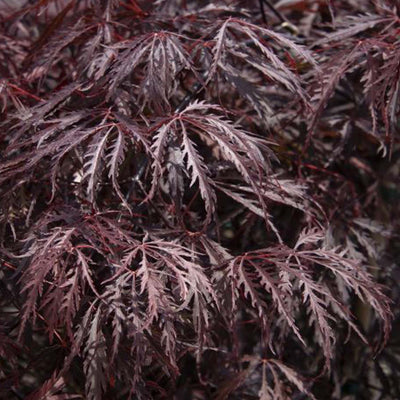 Japanese Maple 'Tamukeyama' Size 15 - Large