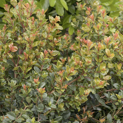 Syzygium 'Orange Twist' - Orange Twist Brush Cherry - 2 Gallon