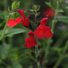 Salvia 'Greggii Radio Red' #1 Size