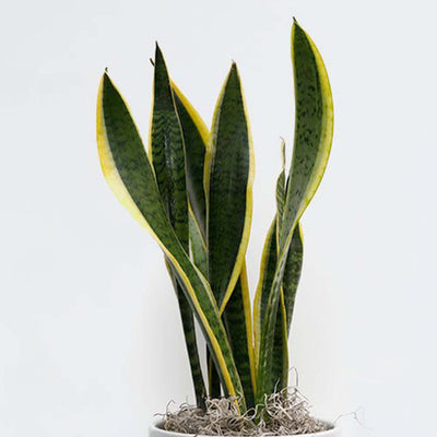SNAKE PLANT VARIEGATED X-SMALL
