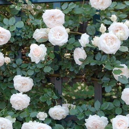 Climbing Rose 'White Eden'