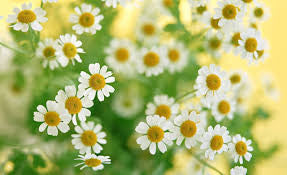 Chamomile (Roman) Essential Oil 5 ml