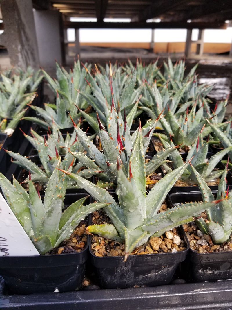 AG014: Agave utahensis COLD HARDY CACTUS