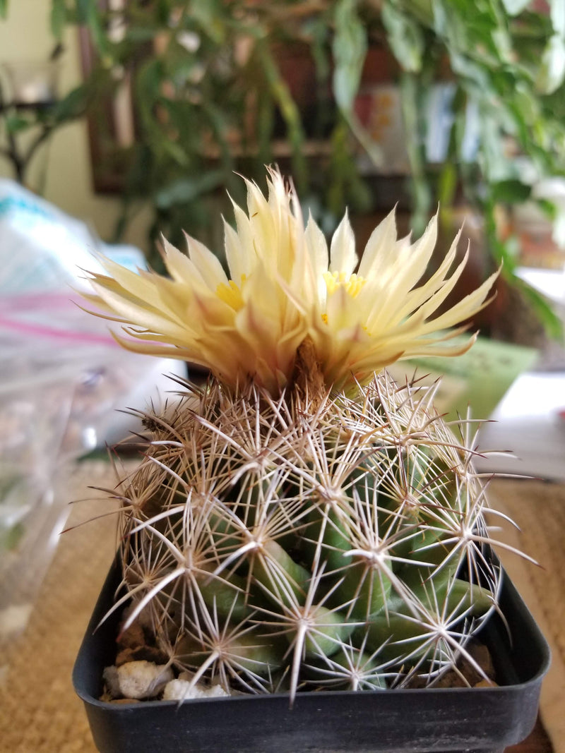 CO003: Coryphantha sulcata COLD HARDY CACTUS