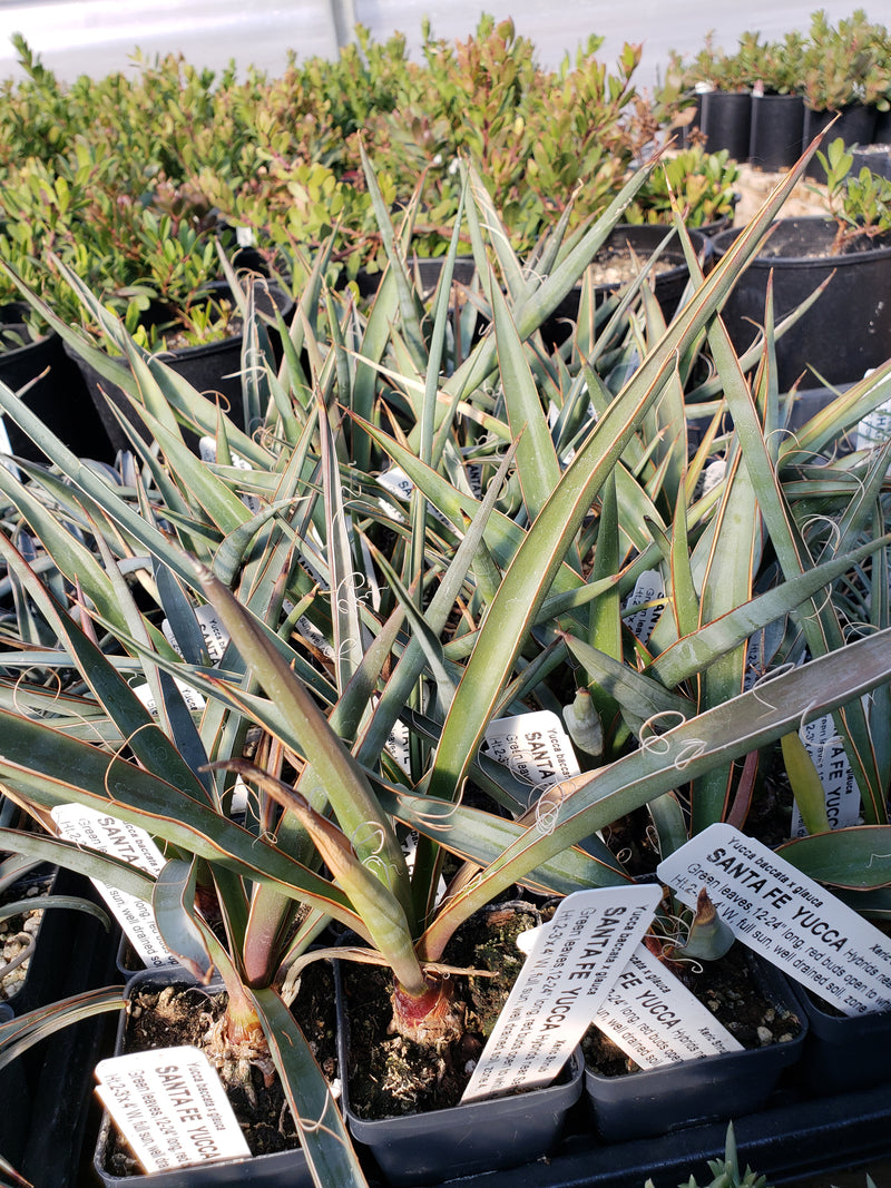 YU004: Yucca glauca x baccata COLD HARDY CACTUS