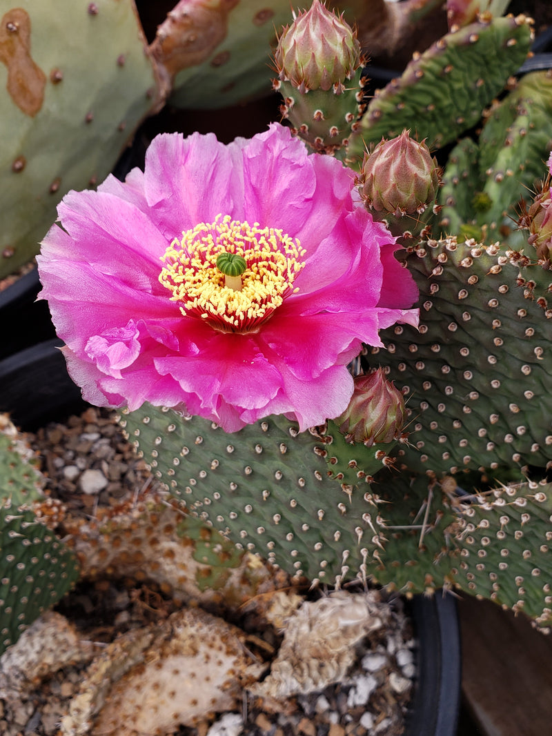 OP104:  Opuntia 'Blushing Maiden' COLD HARDY CACTUS