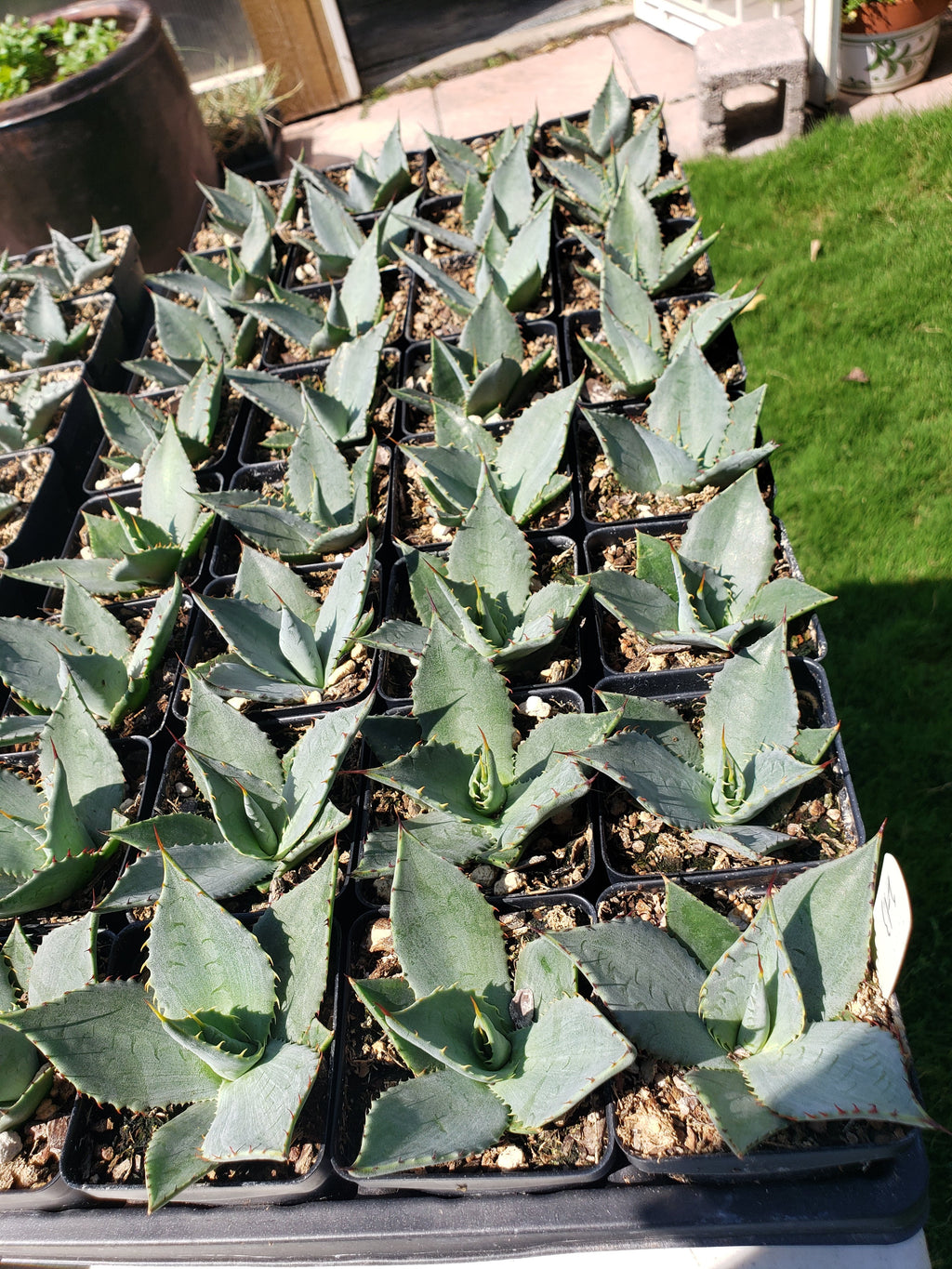 AG015:  Agave parryi v. neomexicana (Truth or Consequences, NM Form)