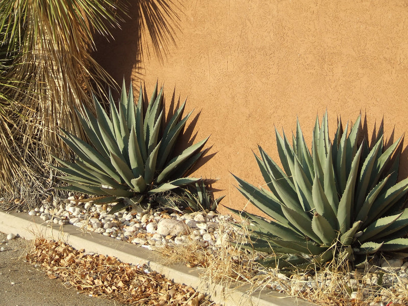 AG013: Agave gracilipes