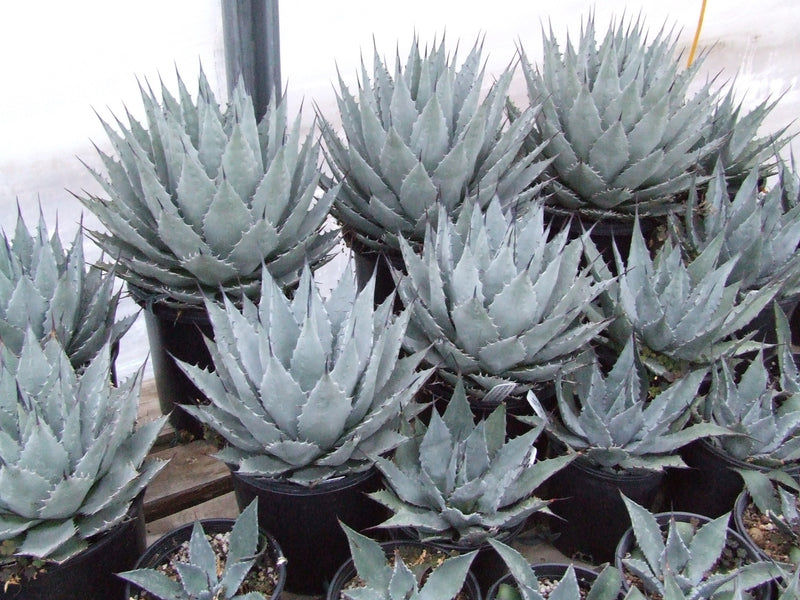 AG002: Agave parryi v. neomexicana x utahensis 'Deep Blue Form'
