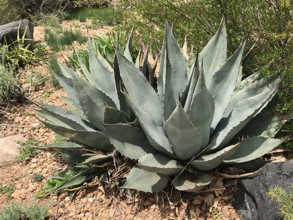 AG016:  Agave havardiana (Glass Mountains Form)