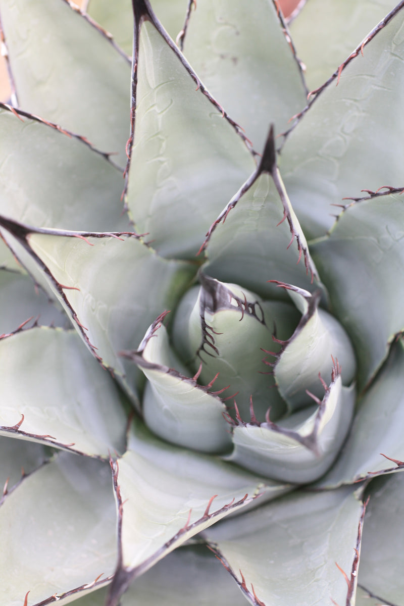 AG001: Agave parryi v neomexicana