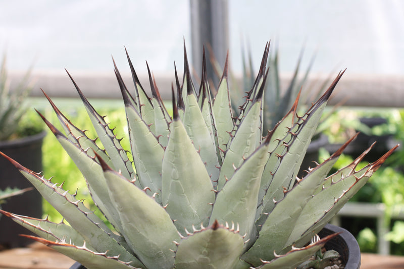 AG001: Agave parryi v neomexicana COLD HARDY CACTUS