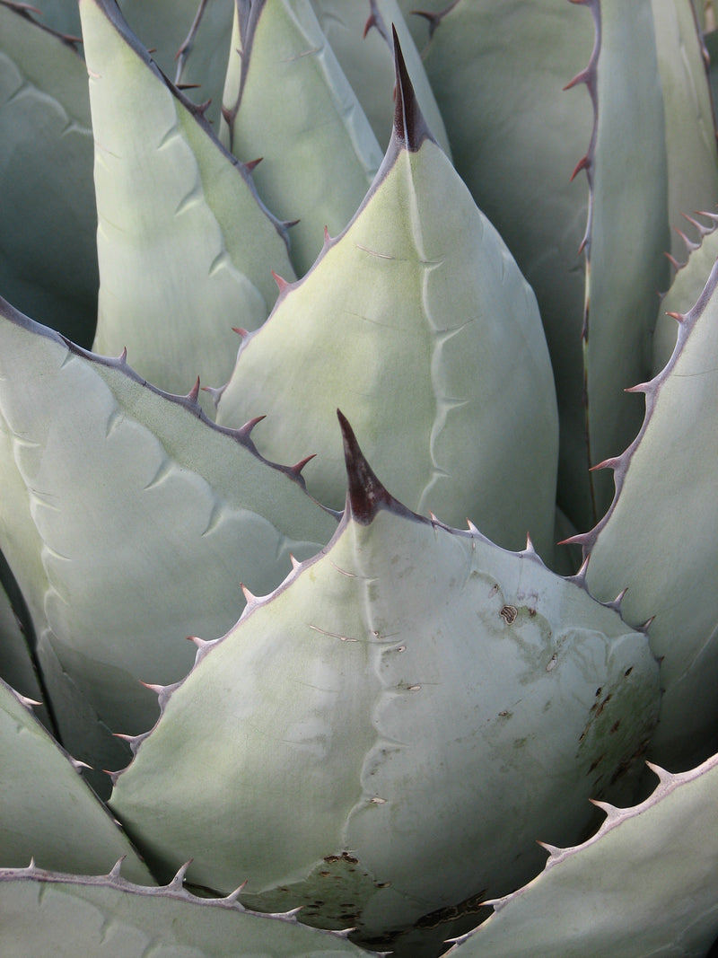 AG012: Agave parryi v. neomexicana