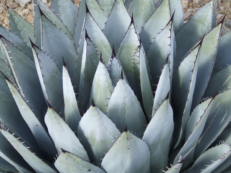 AG012: Agave parryi v. neomexicana 'Cloudcroft Form' COLD HARDY CACTUS