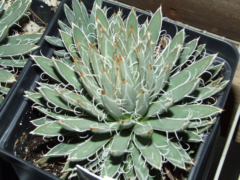 AG007: Agave polianthiflora