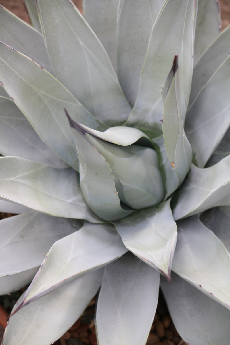 AG019:  Agave parryi v. couesii COLD HARDY CACTUS