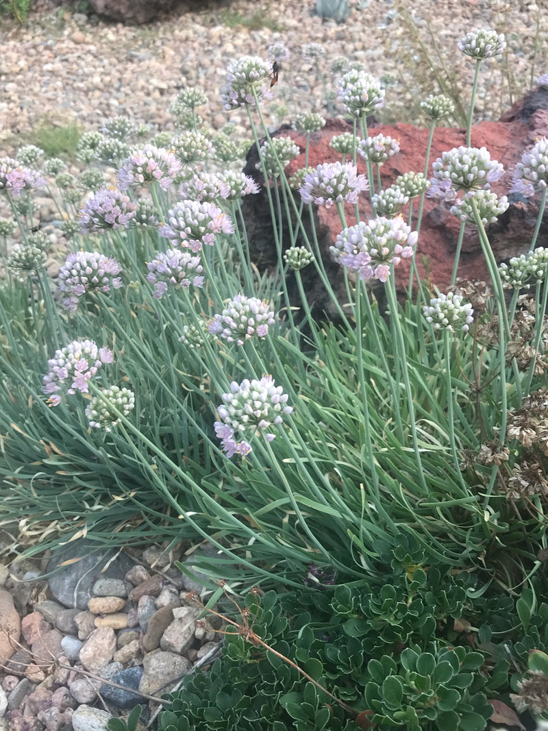 OT018  Allium senescens 'Blue Twister' COLD HARDY CACTUS