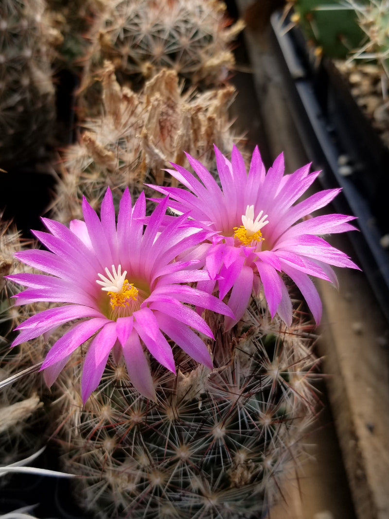 CO002: Coryphantha vivipara (Central NM)