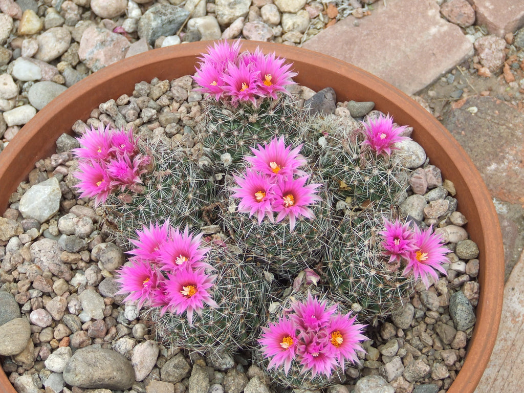 CO001: Coryphantha vivipara (Southern CO)