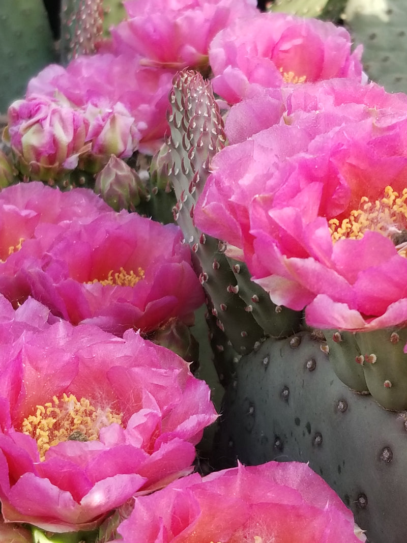 OP095:  Opuntia hybrid WALK IN BEAUTY™ Colorado Sunset