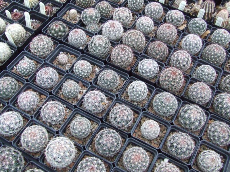 CO001: Coryphantha vivipara (Southern CO) COLD HARDY CACTUS