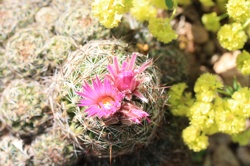 CO005: Coryphantha vivipara v. arizonica