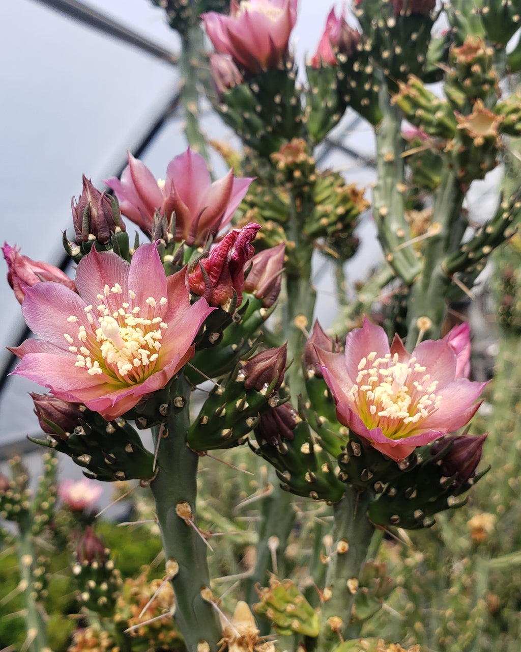 OP033: Cylindropuntia kleiniae (Pencil Cholla Tree Cactus)