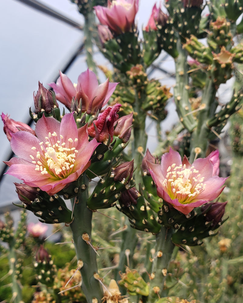 OP033: Cylindropuntia kleiniae (Pencil Cholla Tree Cactus) COLD HARDY CACTUS