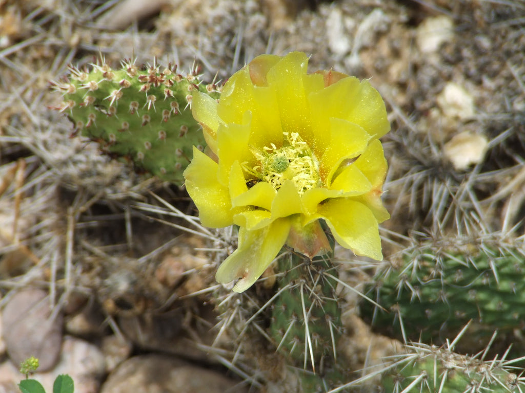 OP032: Opuntia heacockii COLD HARDY CACTUS