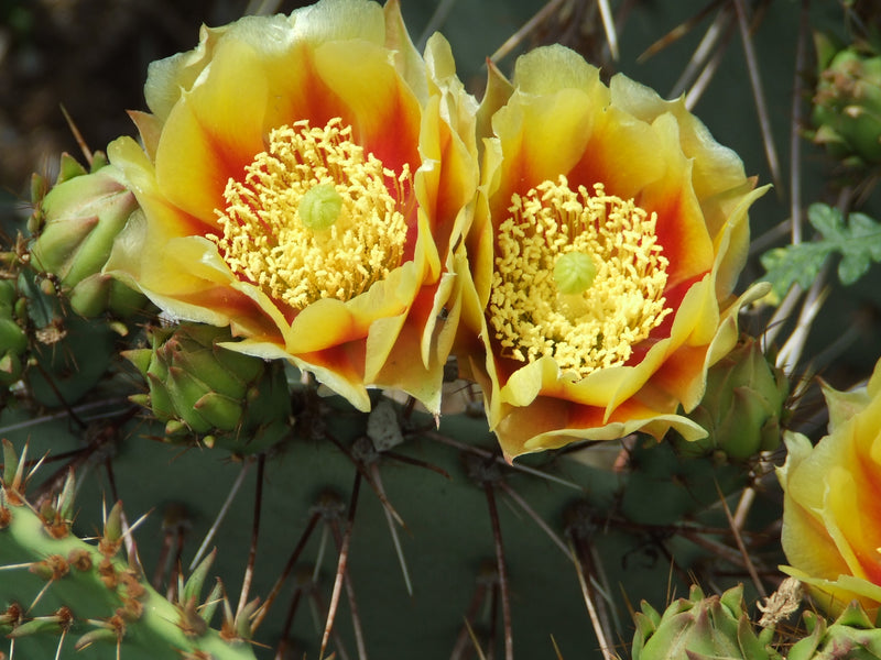 OP035: Opuntia phaeacantha 'Mesa Sky' COLD HARDY CACTUS