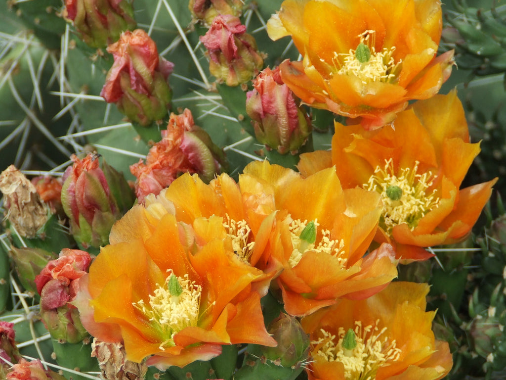 OP091: Opuntia phaeacantha v. woodsii 'Brilliant Orange' COLD HARDY CACTUS