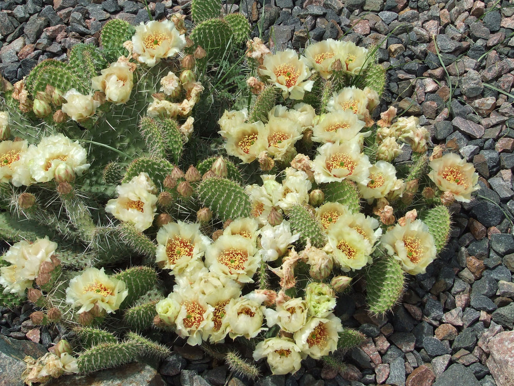 OP038: Opuntia polyacantha 'Crystal Tide' COLD HARDY CACTUS
