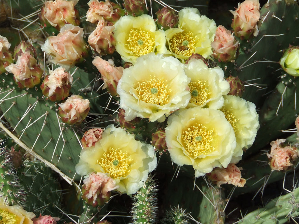 OP007: Opuntia 'East Meets West' (O. fragilis/humifusa hybrid) COLD HARDY CACTUS
