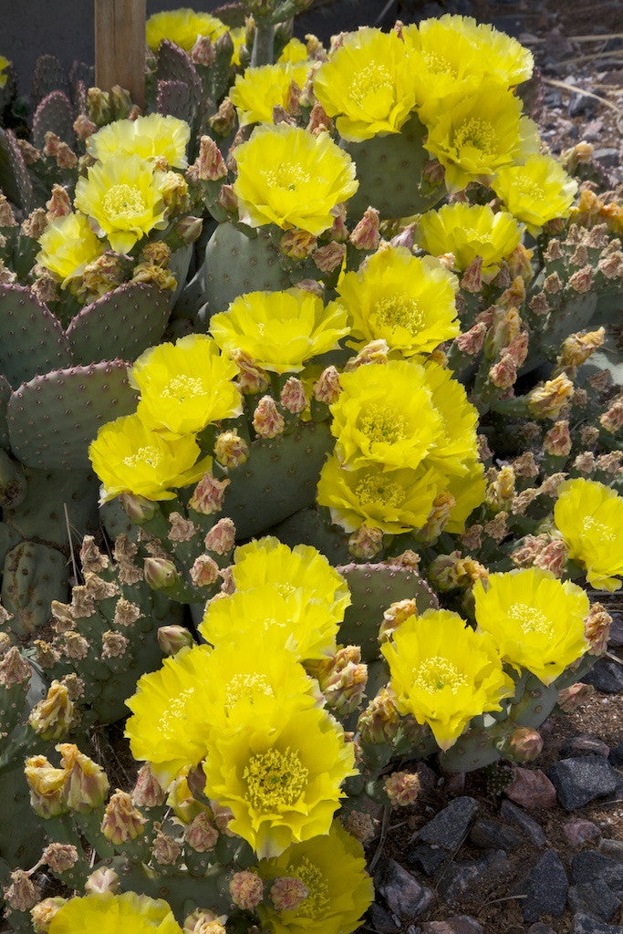 OP063: Opuntia aurea 'Golden Carpet'