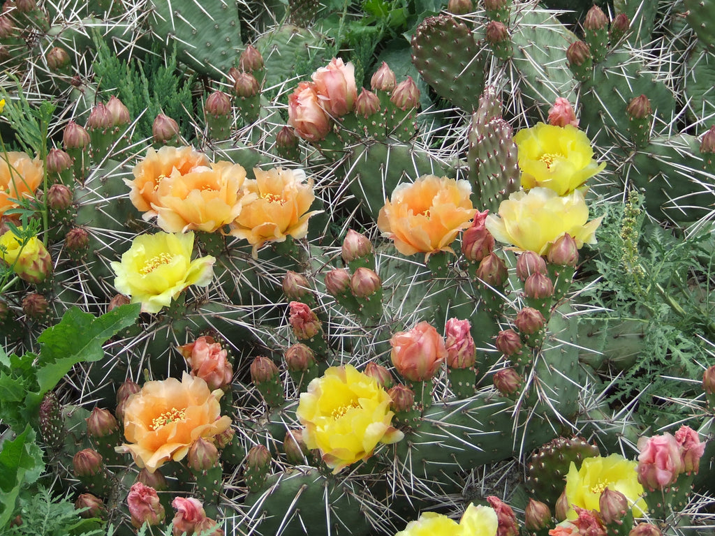 OP061: Opuntia rhodantha 'Oranges and Lemons' COLD HARDY CACTUS