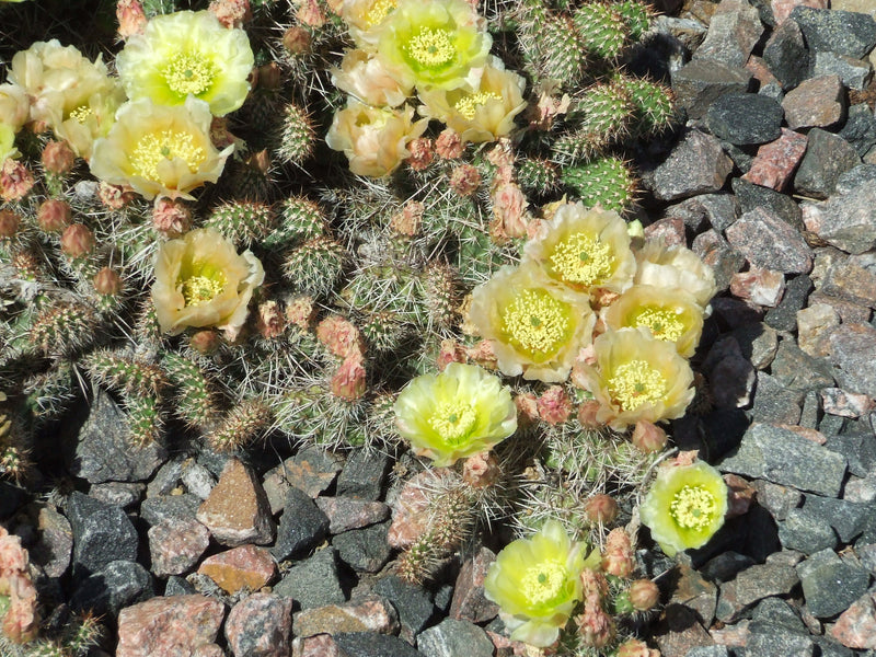 OP065: Opuntia sp. 'Little Monk'