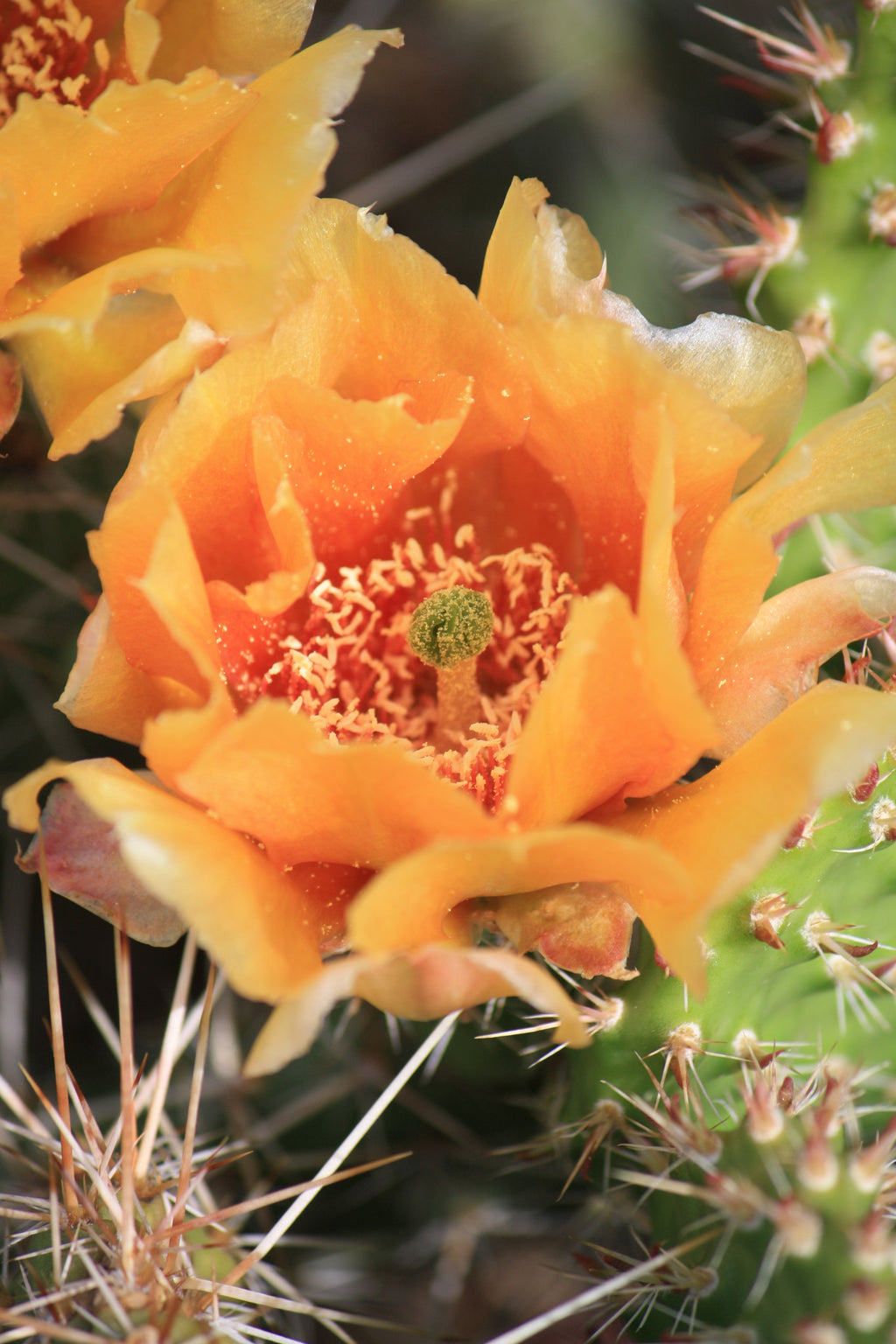 OP040: Opuntia polyacantha 'Nebraska Orange'