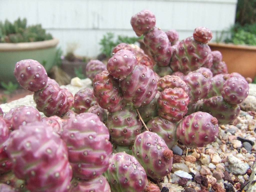 Potato Cactus winter color