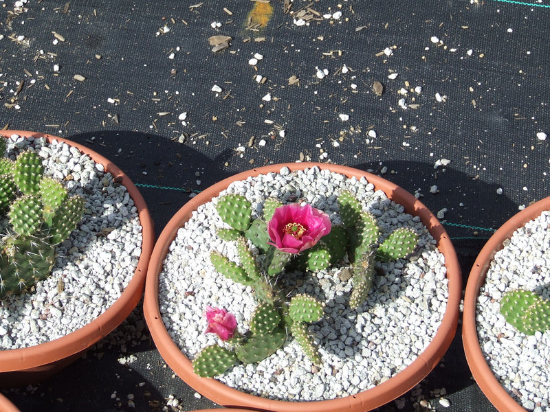 OP053: Opuntia hybrid 'Red Gem' COLD HARDY CACTUS
